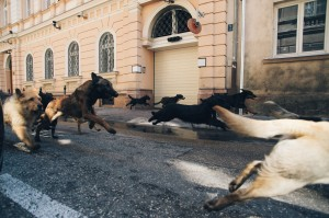 Mixed-breed dogs are on the run in the Hungarian drama 'White God.'